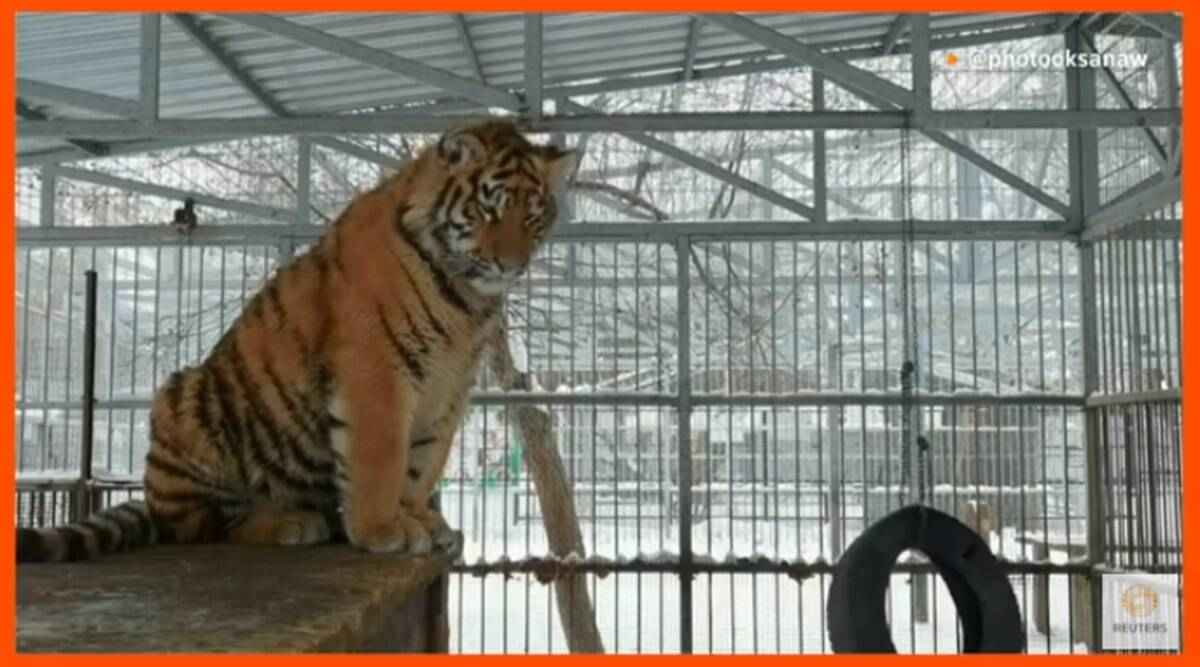 Russia, Russia zoo tiger, Tiger, Siberia zoo, Tiger melodious cry, Tiger high pitch cry, Tiger videos, Trending news, Indian Express news.