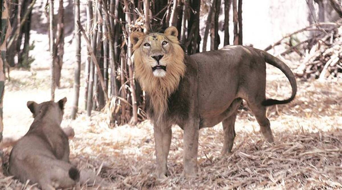 Gir Somnath, Asiatic lion