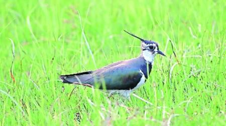 Chandigarh Bird Race 2021: Rare bird Northren Lapwing declared bird of the day