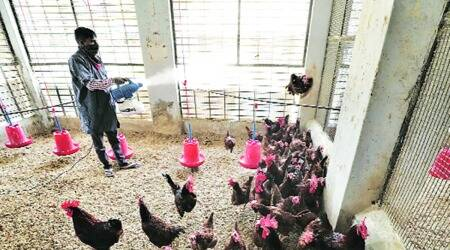 Gujarat bird flu, gujarat bird flu cases, avian flu, indian express news