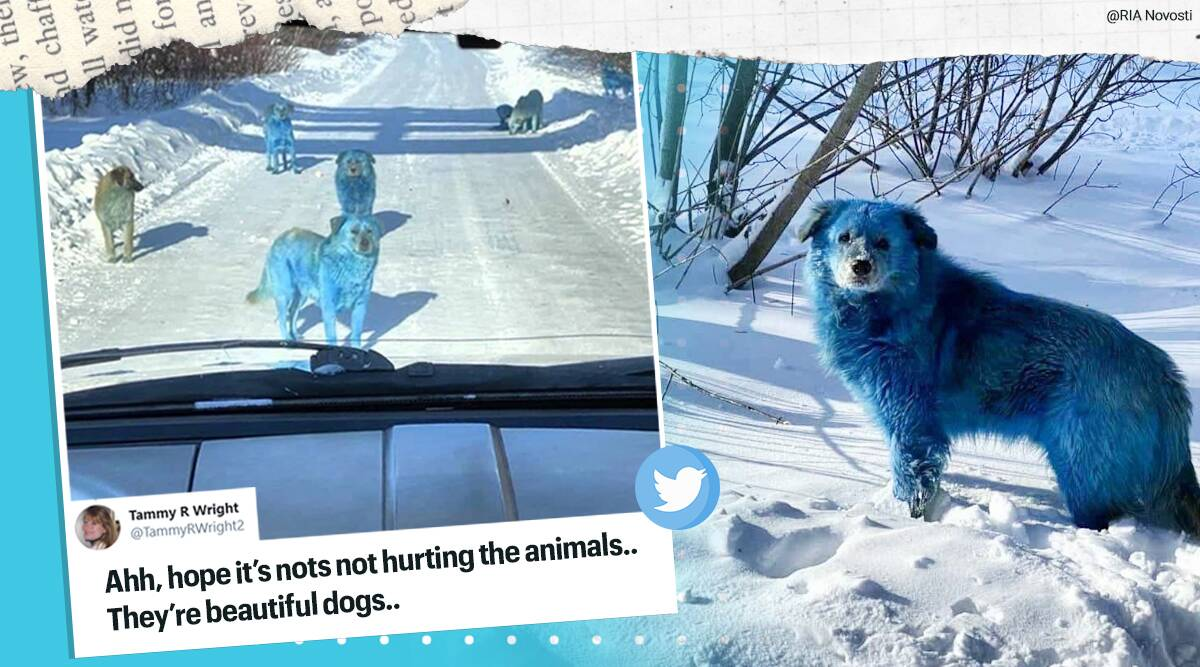Blue coloured stray dogs, Blue colour fur stray dogs, Russia, Abandoned factory Russia blue coloured dogs, blue dogs, blue god in Russia, Dzershinsk blue dogs, Trending news, Indian Express news.