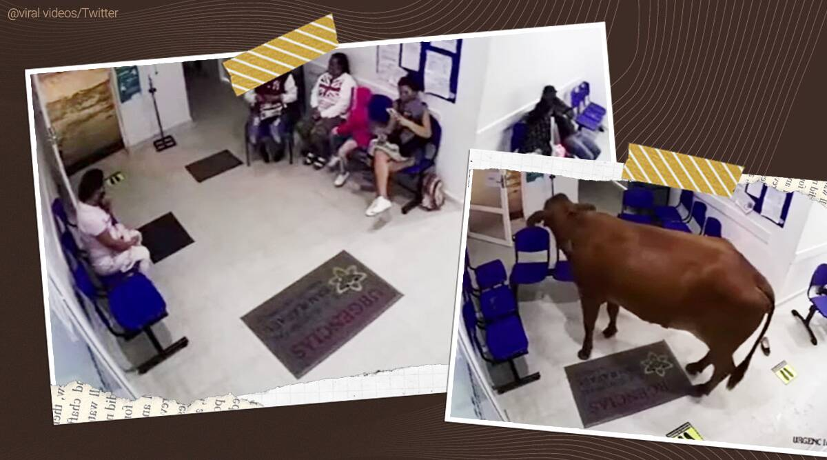 Escaped cow charges Colombian hospital waiting room attacks patients viral video, cow video, escaped cow trending, indian express, indian express news