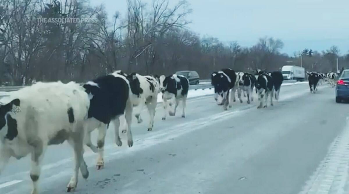 cows gallop indiana highway, cows loose indiana highway, cows escape from farms, cows stampede indiana highway, viral videos, cows on highway, Trending news, indian express