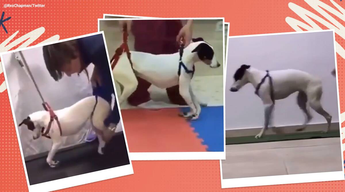 Paralyzed dog nursed back to health, dog viral video, Paralyzed dog viral video twitter reactions, cute dogs, cute dog viral video, trending, indian express, indian express news