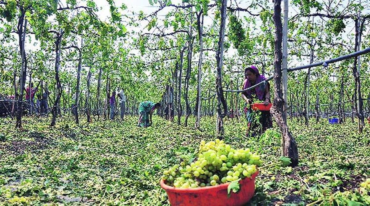 Grape farmers, Nashik grape farmers, Nashik grape growers, grape growing weather, nashik news, indian express news