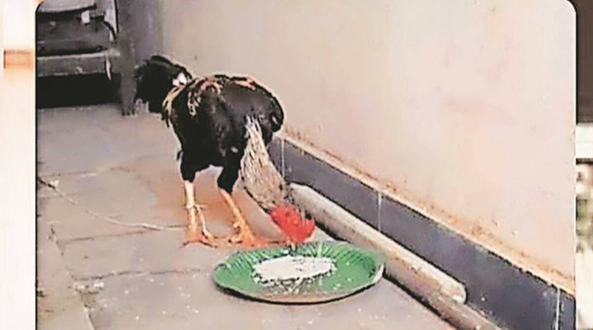 An illegal bird fight, a dead owner, and rooster on trial