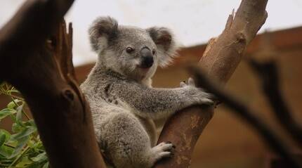 Koala gets a new lease on life with prosthetic foot made by Australian dentist