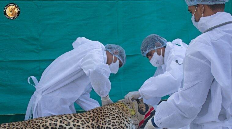 Gujarat forest department, leopard movement study, Leopard collared to study movements, indian express news