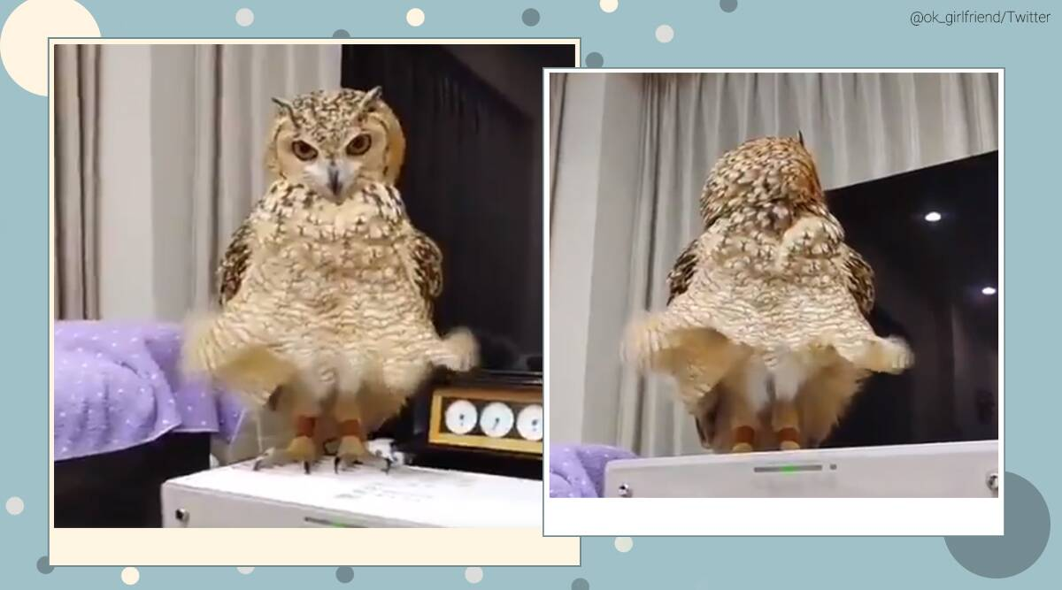 Marilyn Monroe, Marilyn Monroe pose, owl Marilyn Monroe pose, Marilyn Monroe iconic dress moment, owl viral video, owl funny clips, trending news, indian express news