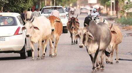 North Delhi Municipal Corporation, NDMC, stray cattle, stray cattle check in delhi, indian express news