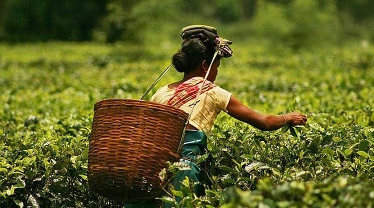 Rahul Gandhi assam raly, Assam tea garden workers, assam tea garden workers wages, assam tea garden workers wages increase, indian express news