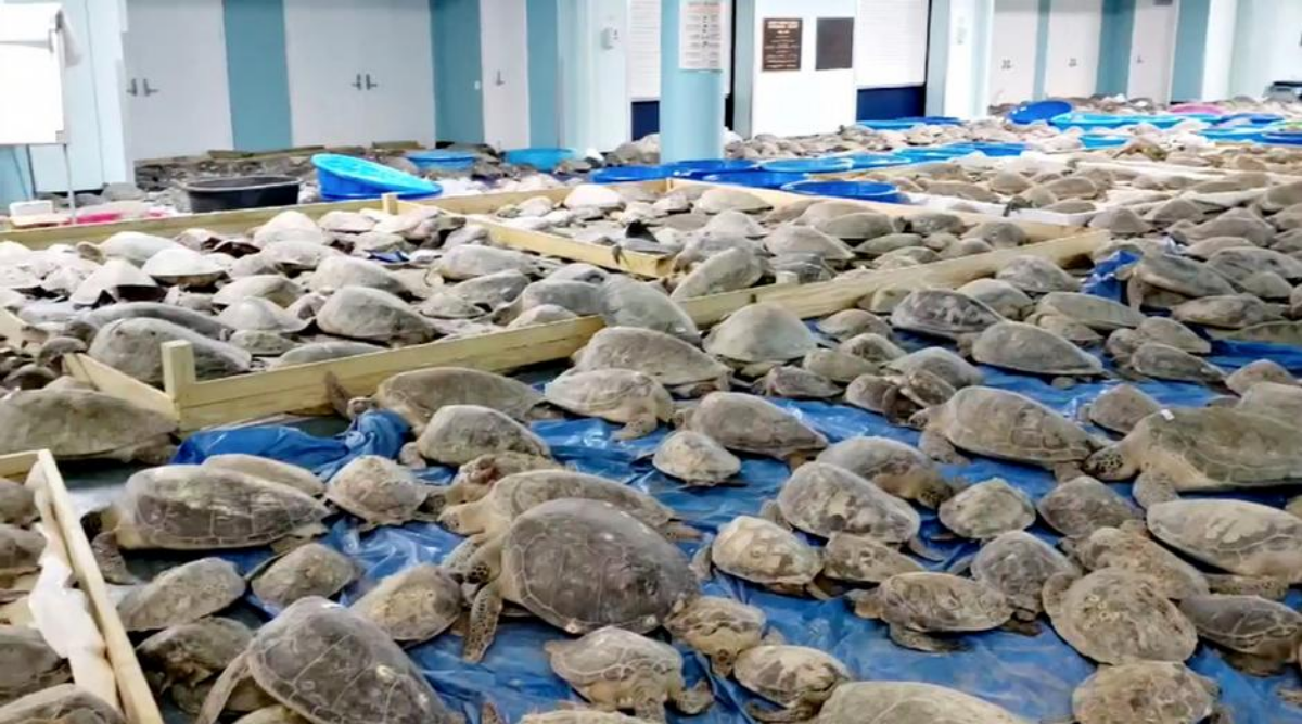 Texas snowstorm: Residents rescue thousands of sea turtles