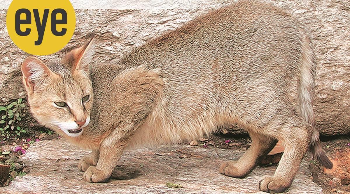 wildcats, wildlife, tigers, jungle cats, eye 2021, sunday eye, indian express news