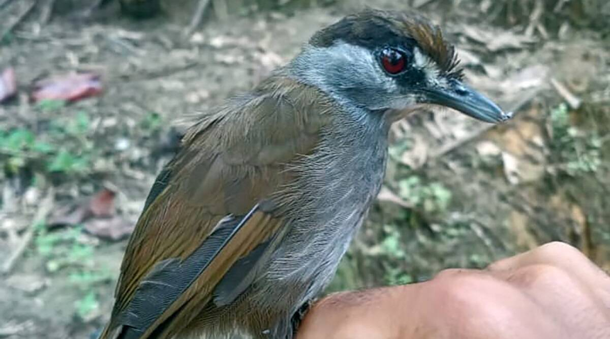 This bird wasn't seen for 170 years. Then it appeared in an Indonesian forest thumbnail