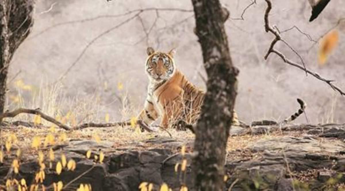 Tiger Surya