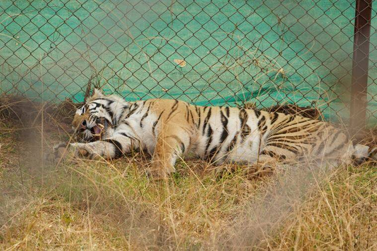 tiger relocation, tigress sundari