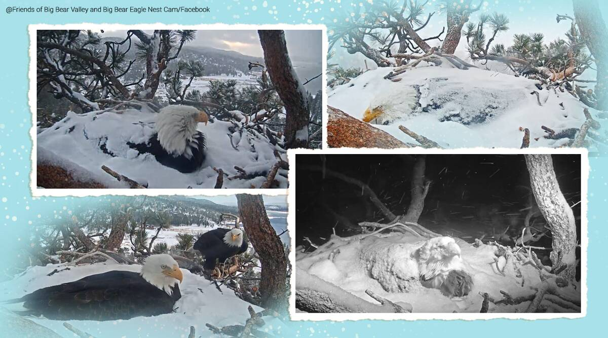 Bald eagle keeping eggs warm during snowfall, California, Bald eagle parenting, Bald eagle viral video, Trending news, the Friends of Big Bear Valley bald eagle video, The Friends of Big Bear Valley wildlife camera, eagle covered in snow, Indian Express news.