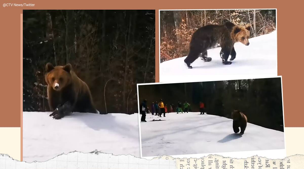 skiers' chased by brown bear, Romania, Predeal, bear chase narrow escape, skier mountain bear chase, Viral video, Indian Express news