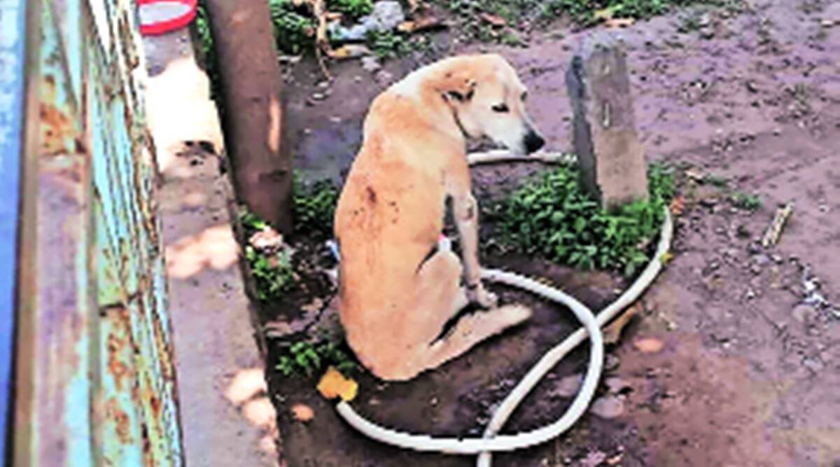 After 36 hours, rescued injured female dog abandoned again in Panchkula