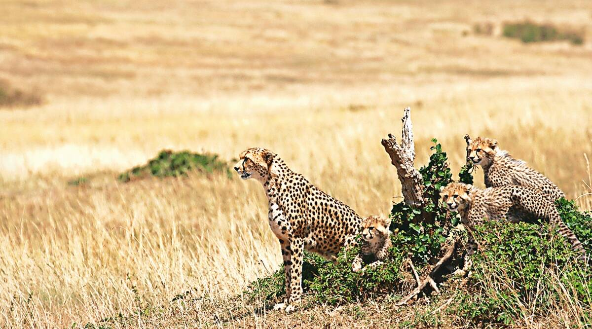 70 years after big cat's extinction, India prepares to welcome cheetahs from Africa
