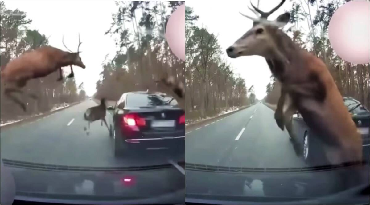 deer stampede, cars caught deer stampede, michigan deer stampede, deer car collision, deer jump in front of car, viral videos, indian express news