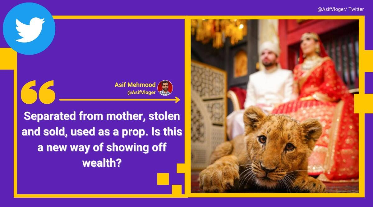 Pakistani couple uses 'sedated lion cub' as prop for wedding shoot, draws flak online - The Indian Express