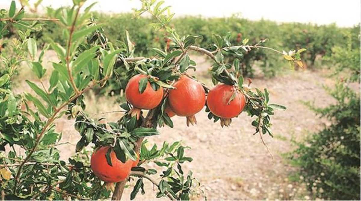 Maharashtra farmers start fresh fruit cake 'movement' to sustain during pandemic