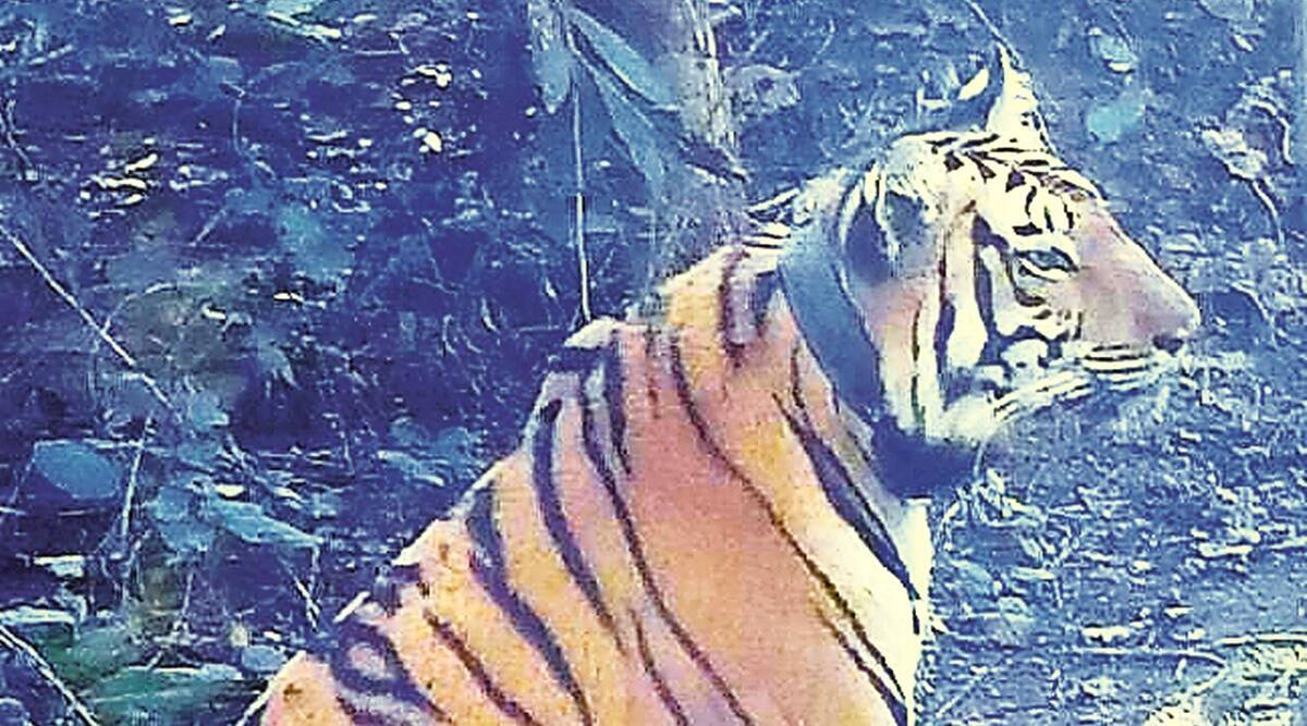 2 yrs after maneater Avni was killed, her cub, now an adult tigress, walks out into the wild