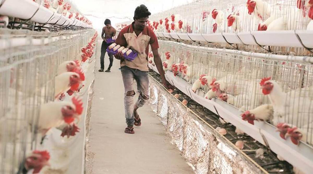 Pune news, Poultry farming, bird flu