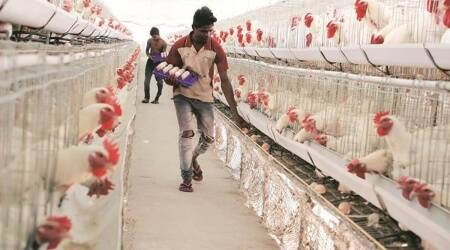 Pune news, Poultry farming, bird flu