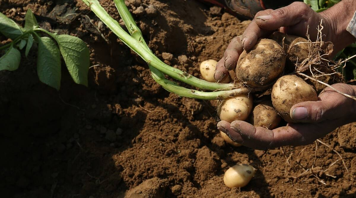 Hot potato? Not anymore, as prices cool down, farmers feel the pinch