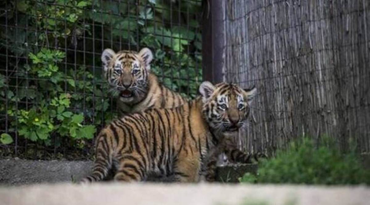 Days after she was released into wild, Avni's cub dies of injuries