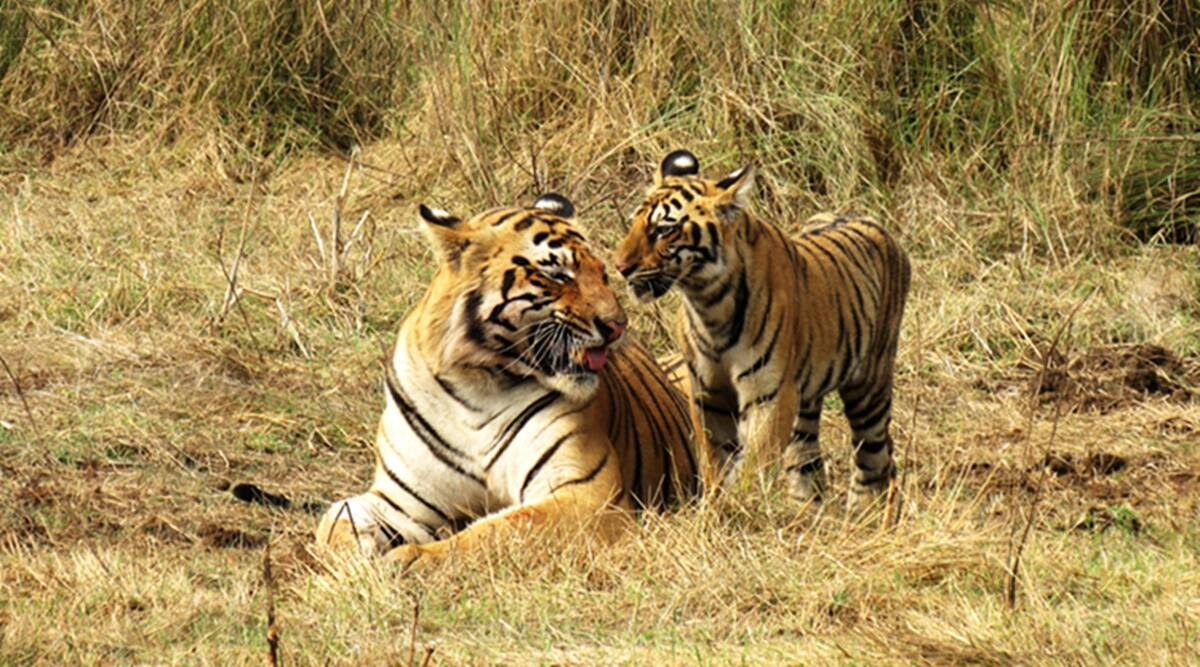 Tiger deaths Maharashtra