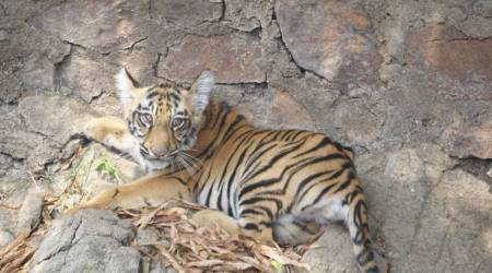 tiger cub, tigers in india, tiger population in india, Chandrapur district, Chandrapur's Transit Treatment Centre, nagpur news, indian express