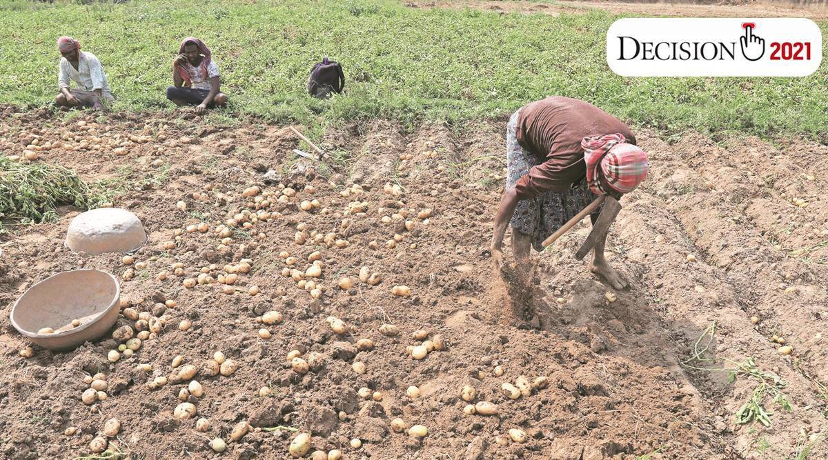 Potato growers in west bengal, West Bengal elections, west bengal assembly elections 2021, west bengal ground reports, hoogly polling, singur news, singur candidates name, indian express