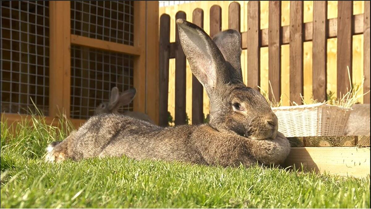 World's biggest rabbit' stolen from home in England | Trending News,The  Indian Express