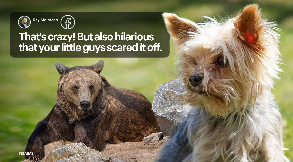 dogs chase away bear, terrier dogs chase bear, bear enters home, little dogs chase away bear, indian express