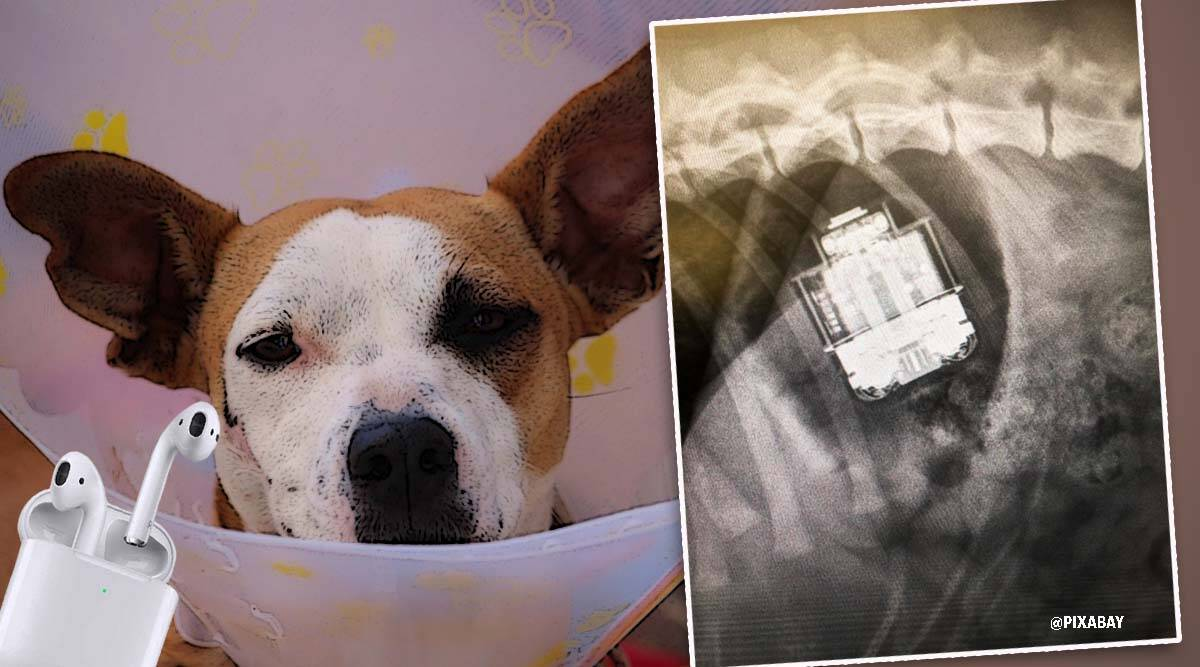 dog, dog swallow air pods, apple airpods, vetnow, vetnow pictures, emergency surgery swallowing AirPods, dog, dog stories, trending, indian express news