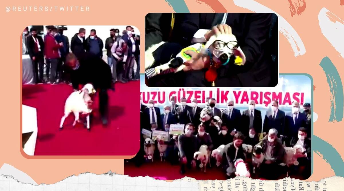 Sheep, lambs walk the ramp for a cause in Turkey, netizens amused