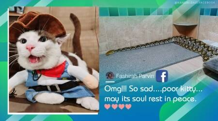 python eats pet cat, pet cat eaten by python, missing cat found inside snake stomach, viral news, odd news, indian express, thailand news