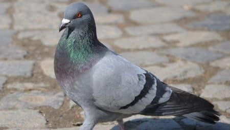 Pigeon, FIR