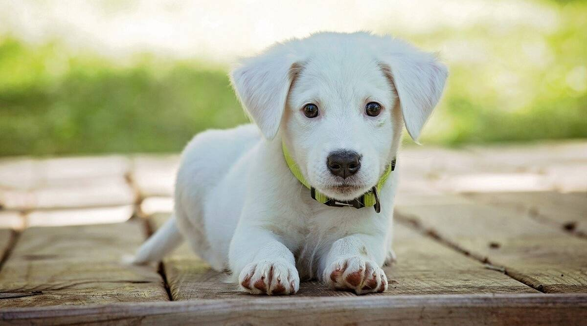 world pet day, why adopt pets, world pet day dogs, why should you not buy animals. why should we adopt pets, indian express news