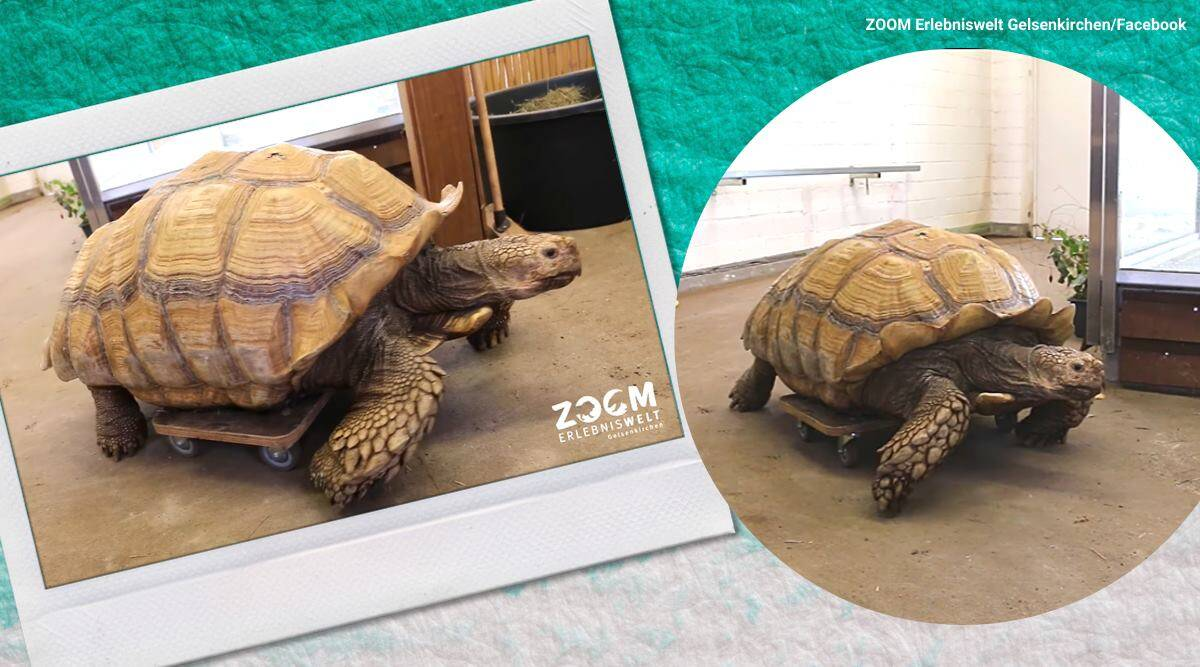 Giant tortoise with injured legs given skateboard, endangered tortoise, tortoise with roller board, tortoise with roller board viral video, male African spurred tortoise, Helmuth, twitter reactions, trending, indian express, news