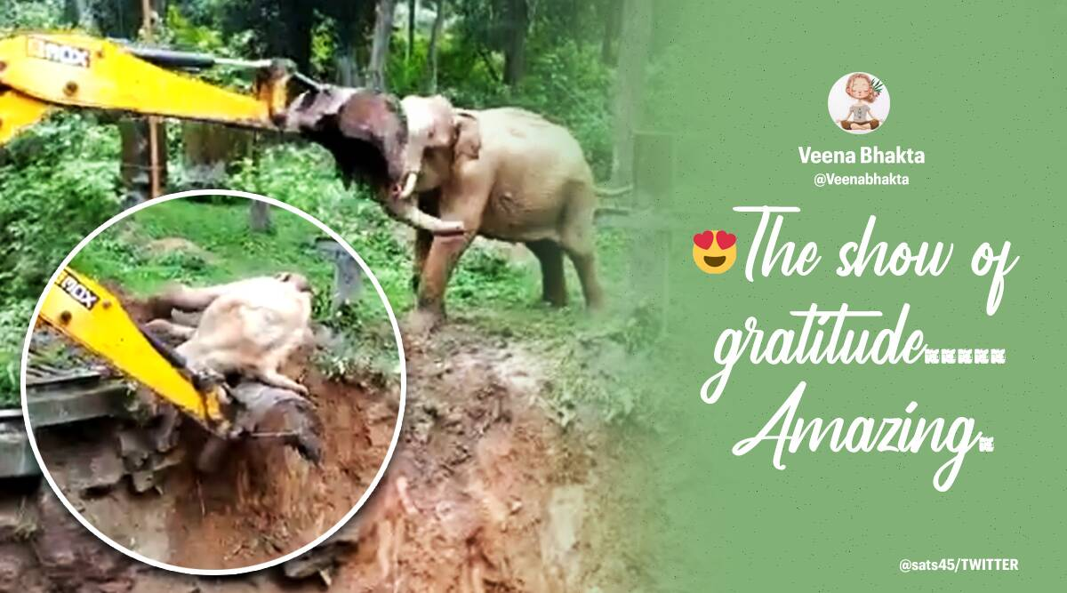 Elephant videos, Elephant rescue videos, Coorg, elephant stuck mud puddle rescue, Elephant rescue muddy ditch Coorg, Viral videos, Karnataka, Animal rescue videos, Trending news, Indian Express news