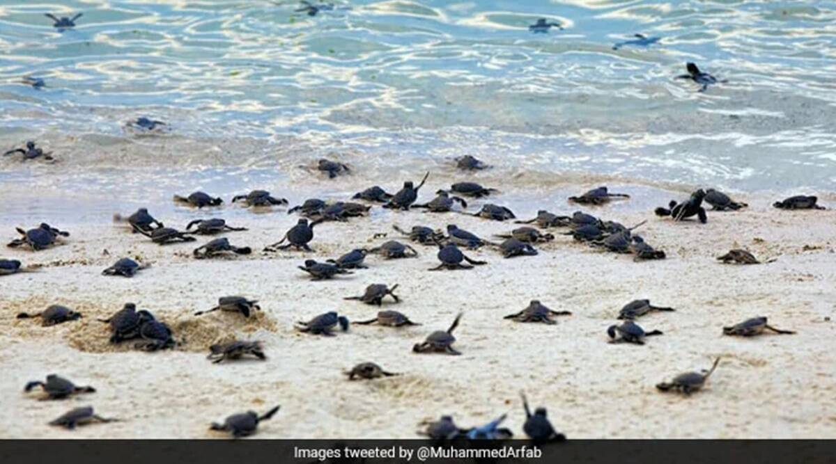 Olive Ridley turtles, Olive Ridley turtles videos, Olive Ridley turtles hatching, Odisha, Gahirmatha Island, Olive Ridley turtles in, Gahirmatha Island, Viral video, Trending news, Indian Express news