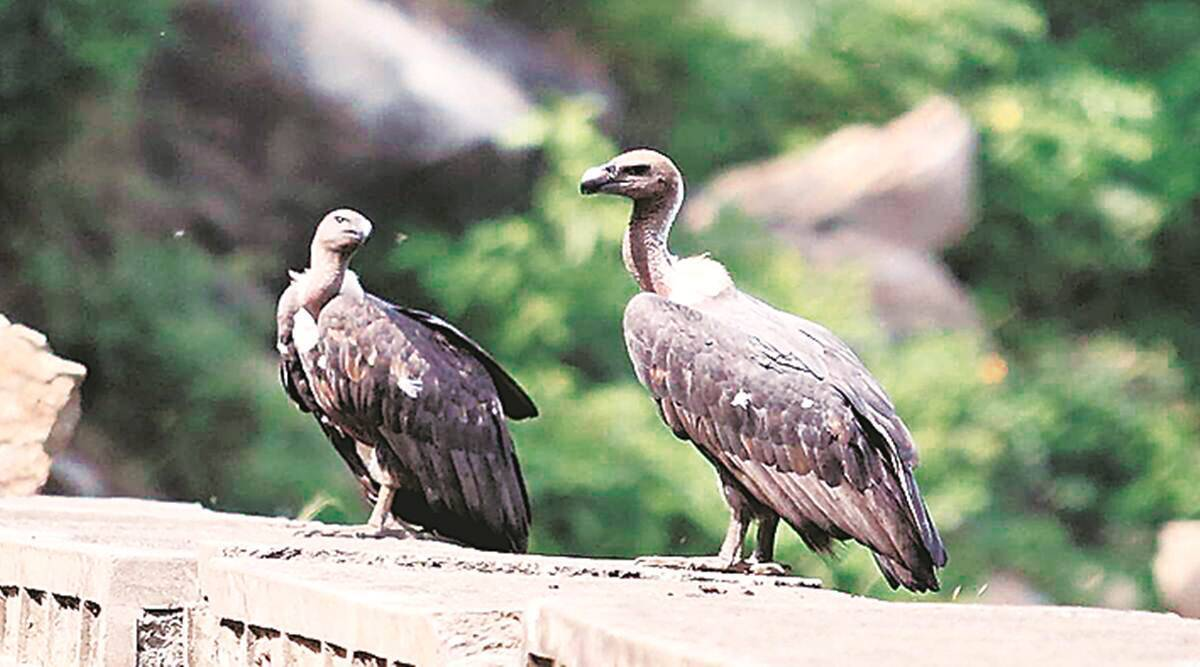 Maharashtra to come up with protocol to keep track of sightings after rare vulture spotted for first time in state