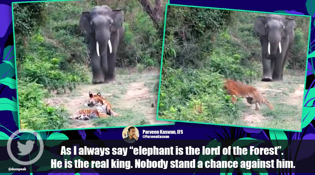 tiger, elephant, jungle, forest, tiger and elephant, tiger and elephant video, forest video, viral video, trending news, Indian express news