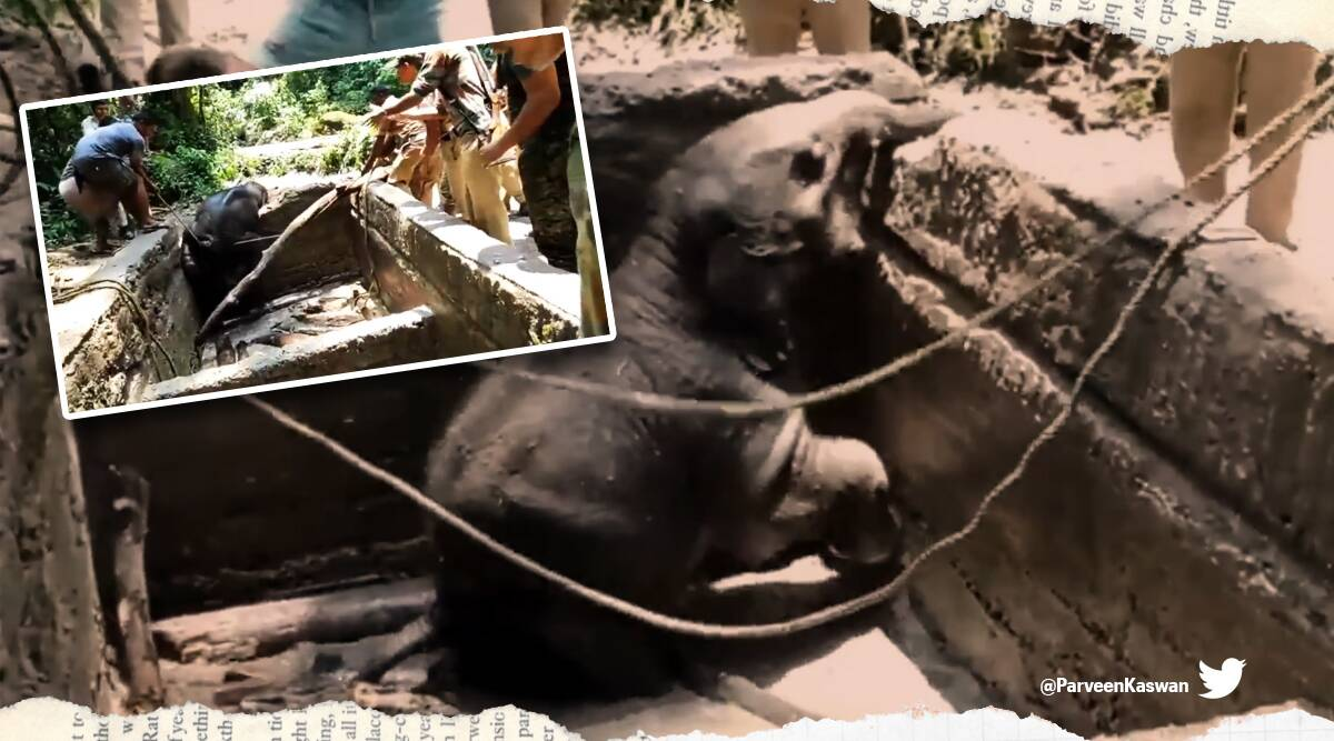elephant in ditch viral video, elephant reservoir viral video, Range territorial team rescues elephant in reservoir, twitter reactions, trending, indian express, indian express news