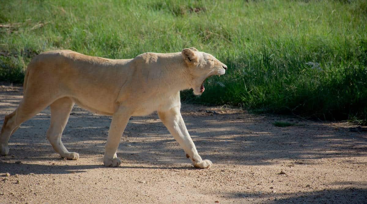 lioness, Covid-19 India Second Wave, Etawah safari, covid positive lion, india news, indian express