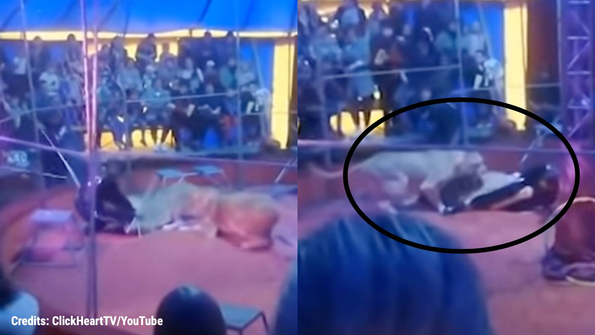 Watch: Lioness attacks circus trainer during a live Russian circus show